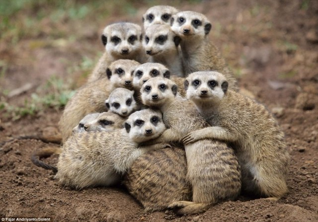 meerkat hugs
